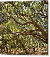 Forest Stroll - The Magical And Mysterious Trees Of The Los Osos Oak Reserve. Canvas Print