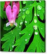 Formosa Bleeding Heart On Ferns Canvas Print
