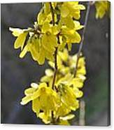 Forsythia Canvas Print