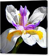 Fortnight Lily Canvas Print