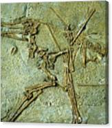 Fossil Remains Of The Pterodactyl Canvas Print