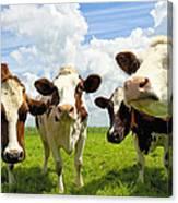 Four Chatting Cows Canvas Print