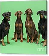 Four Dobermans Sitting Down Canvas Print