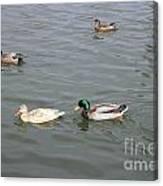 Four Ducks Canvas Print