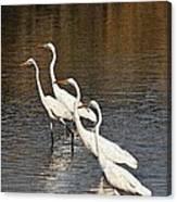 Four Egrets Fishing Canvas Print