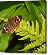 Four Eye Butterfly Canvas Print