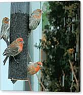 Four Finches Feeding Canvas Print