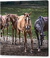 Four Horses E137 Canvas Print