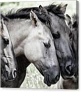 Four Konik Horses Canvas Print