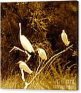 Four Resting Egrets Canvas Print