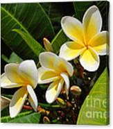 Four Summer Frangipanis Canvas Print