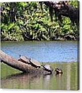 Four Yellow Bellied Turtles Canvas Print