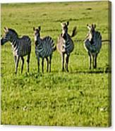 Four Zebras Canvas Print
