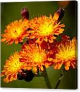 Fox-and-cubs Canvas Print