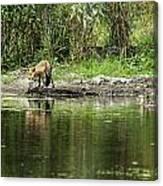 Fox At Water Hole Canvas Print