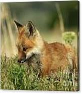 Fox Baby Canvas Print