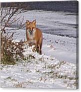 Fox In My Yard Canvas Print