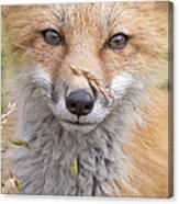 Fox Kit In The Grass Canvas Print
