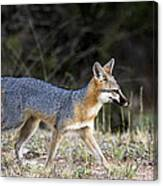 Fox On The Move Canvas Print