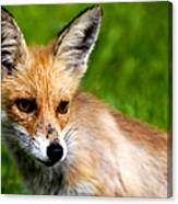 Fox Pup Canvas Print