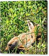 Red Fox Pup Hiding Canvas Print