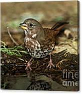 Fox Sparrow Drinking Canvas Print