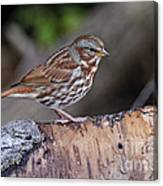 Fox Sparrow Pictures 16 Canvas Print