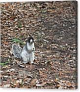 Fox Squirrel Curious Canvas Print