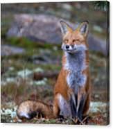 Fox Zen - Algonquin Park Canvas Print