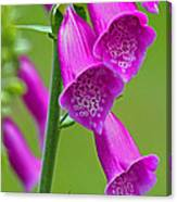 Foxglove Digitalis Purpurea Canvas Print