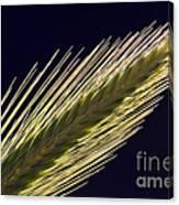 Foxtail Barley Canvas Print