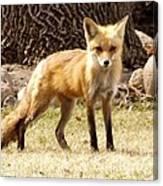 Foxy Momma Canvas Print