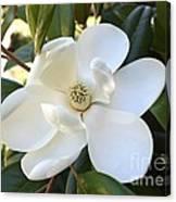 Fragrant Magnolia Canvas Print