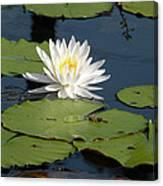 Fragrant White Waterlily - Nymphaea Odorata - Florida Native Canvas Print