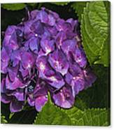 Framed Purple Blue Hydrangea Blossom Canvas Print