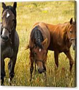 Free Happy Horse Joy On Samsoe Island Denmark  Canvas Print