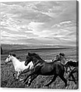 Free Range Running Horses Canvas Print