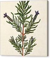 French Lavender Canvas Print