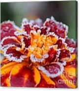 French Marigold Named Durango Red Outlined With Frost Canvas Print
