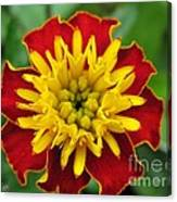 French Marigold Named Solan Canvas Print