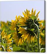 French Sunflowers Canvas Print