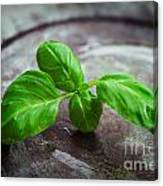 Fresh Basil Canvas Print