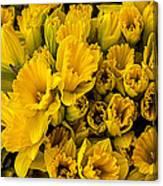 Fresh Daffodils  Canvas Print