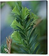 Fresh Growth Redwood Canvas Print