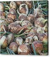 Fresh Harvest Onions Canvas Print