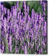 Fresh Lavender  Canvas Print
