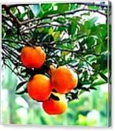 Fresh Orange On Plant Canvas Print