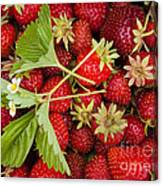 Fresh Picked Strawberries Canvas Print