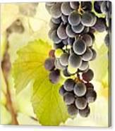 Fresh Ripe Grapes Canvas Print