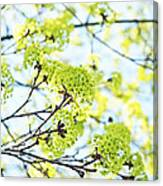 Fresh Spring Green Buds Canvas Print